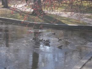 Volailles en mal d'eau non-gelée