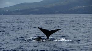 Une femelle sonde et le baleineau reste en surface