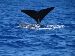 La femelle sonde et le baleineau reste en surface