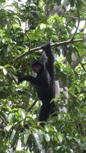 Un singe-araignée