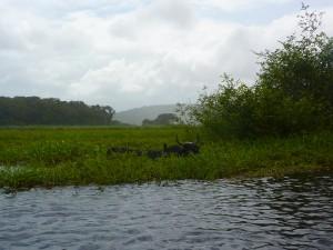 Zébu dans le marais