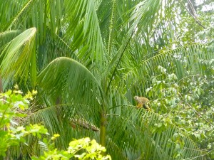 Sapajou sur un palmier pinot