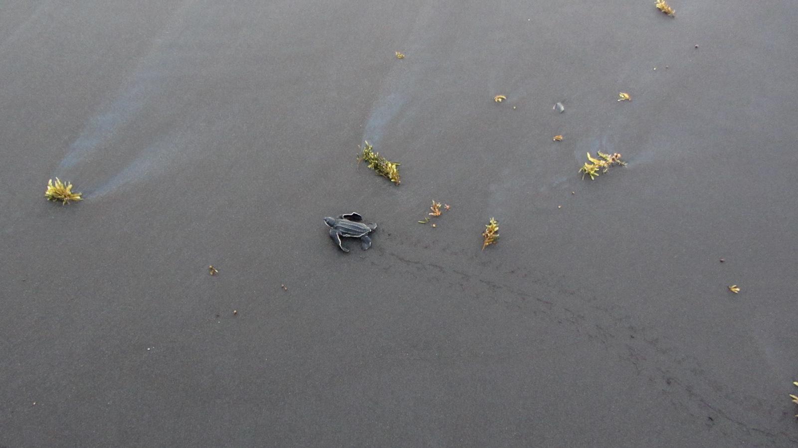 Jeune tortue luth et ses traces sur le sable